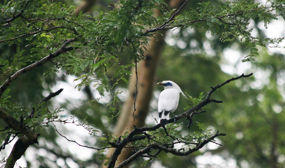 Bali Starlings have a long crest on their heads.