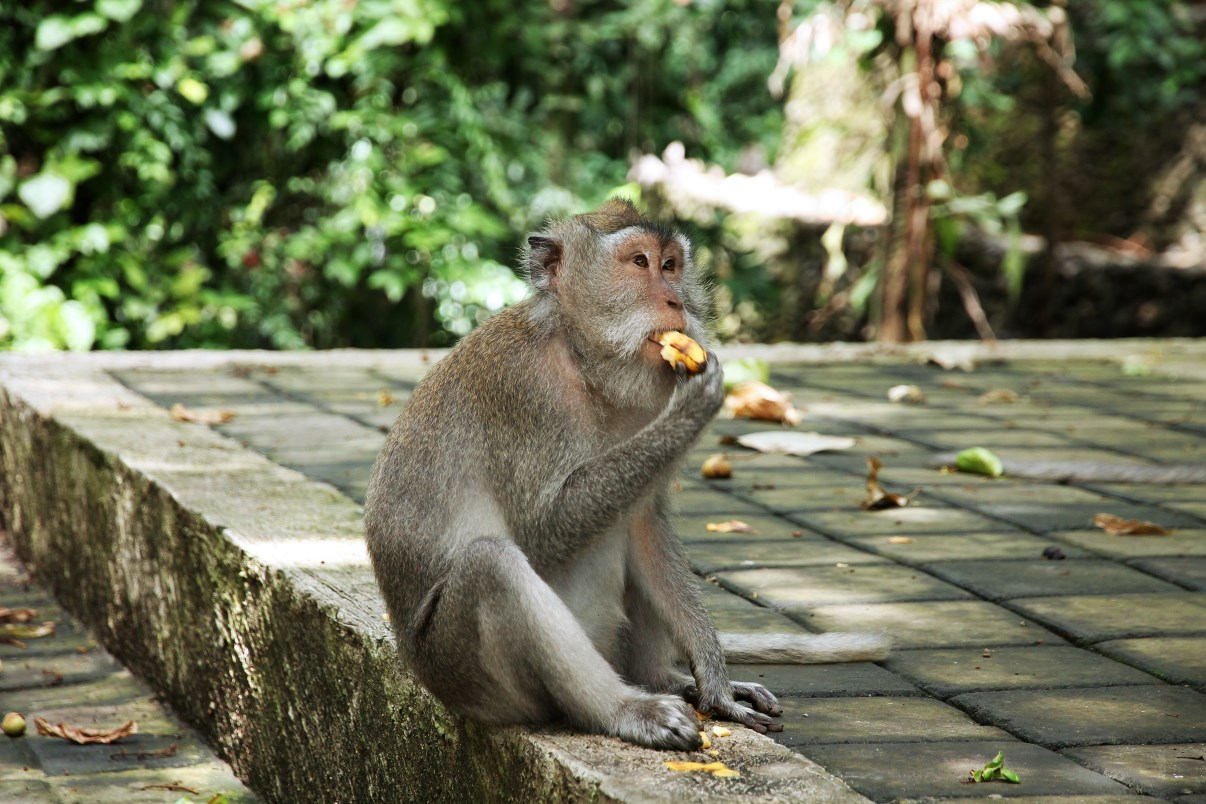This gut was eating a banana just outside the Monkey Forest.