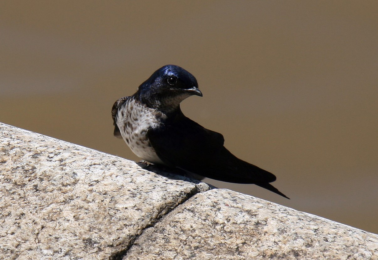 Local swallow.