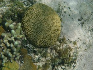 Brain coral (Faviidae).