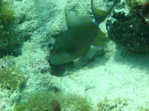 Queen triggerfish (Balistes vetula).