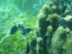 French grunt (Haemulon flavolineatum),  Caribbean blue tang (Acanthurus coeruleus) and Sergeant major fish (Abudefduf saxatilis).