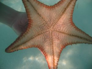 Really big starfish.