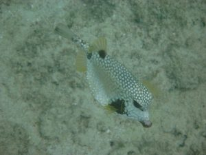 Smooth trunk fish (Lactophrys triqueter)