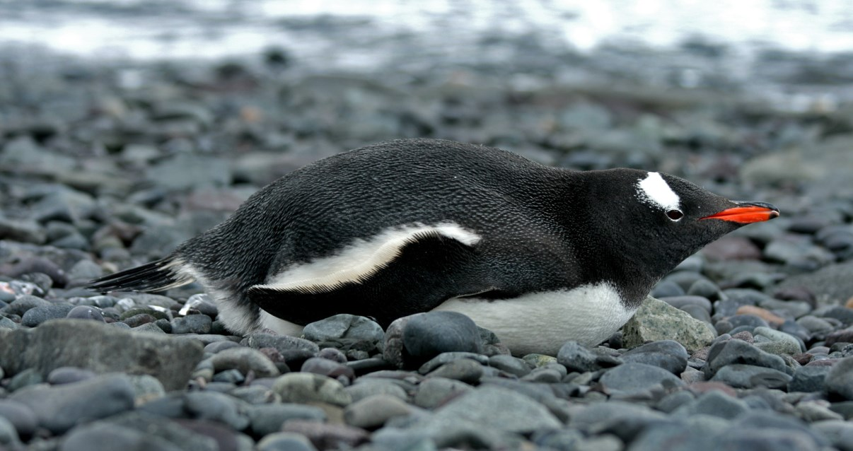 Gentoo Penguin on the beach.