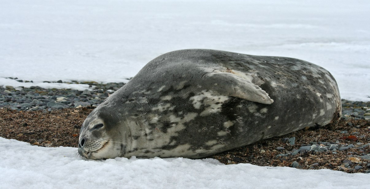 A Weddell Seal was resting in front of our lab.