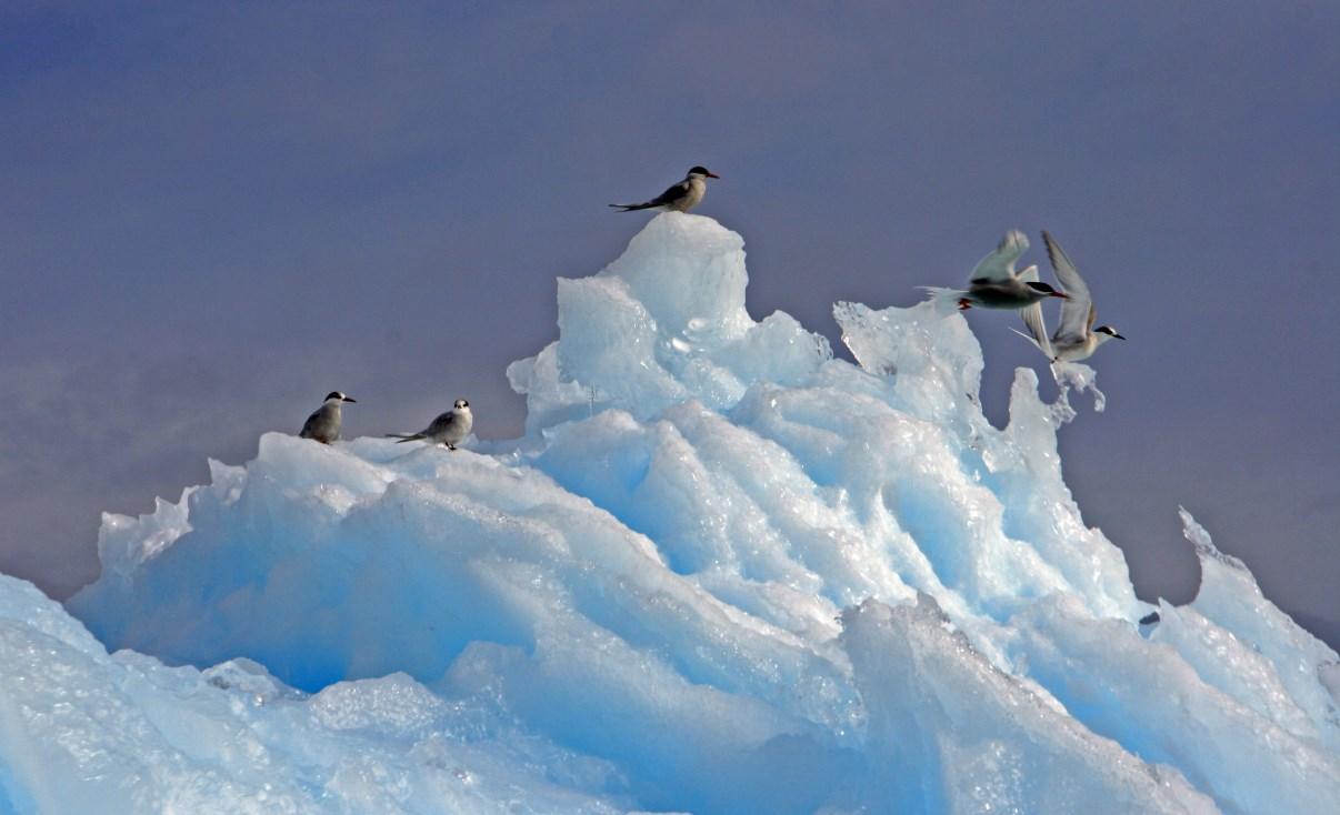 Terns on an iceberg.