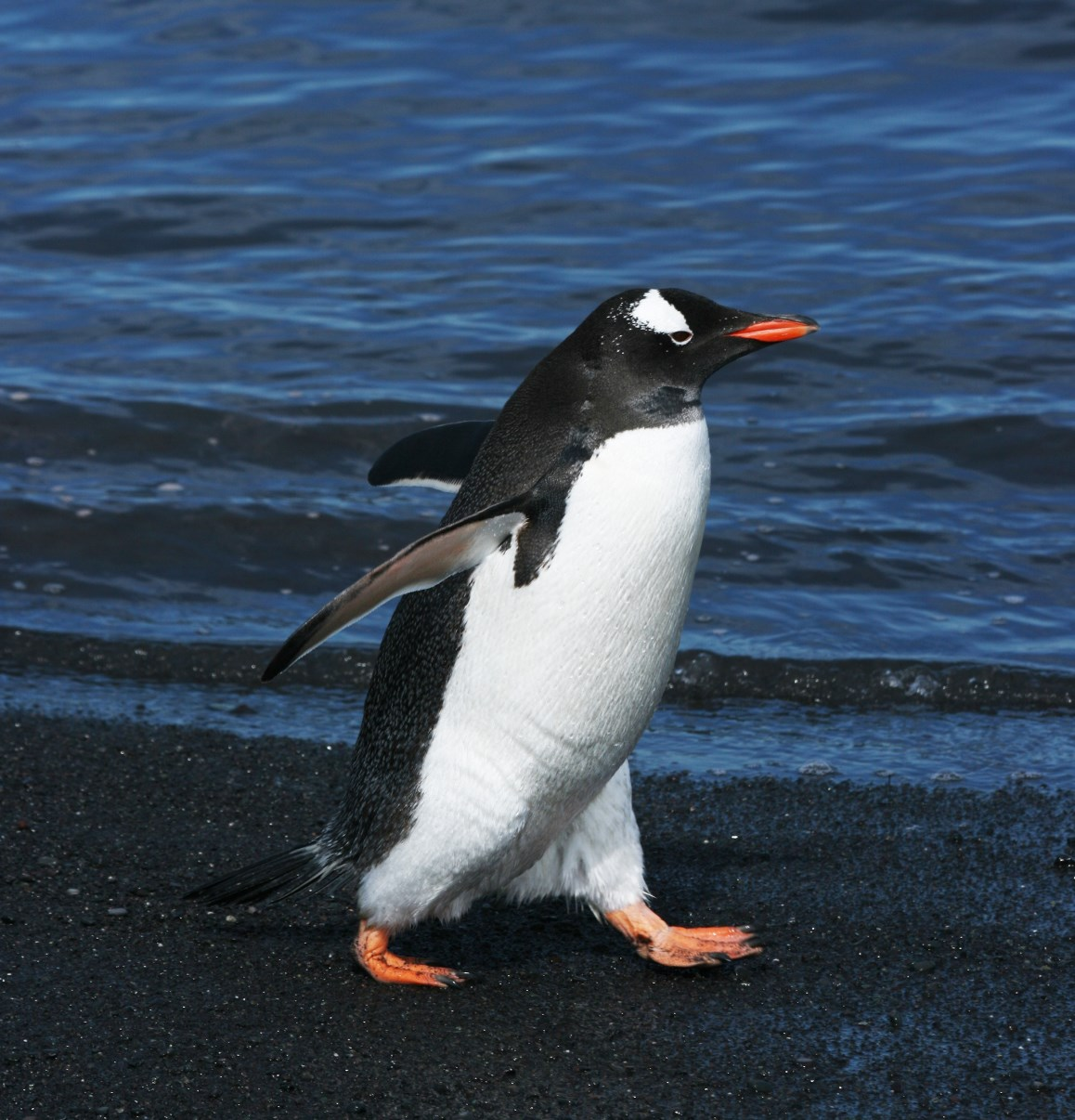 Having a stroll... (Gentoo penguin)