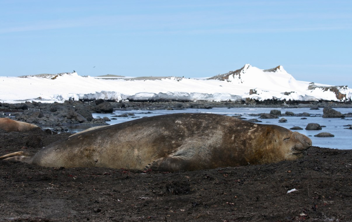 Just chilling... (elephant seal)