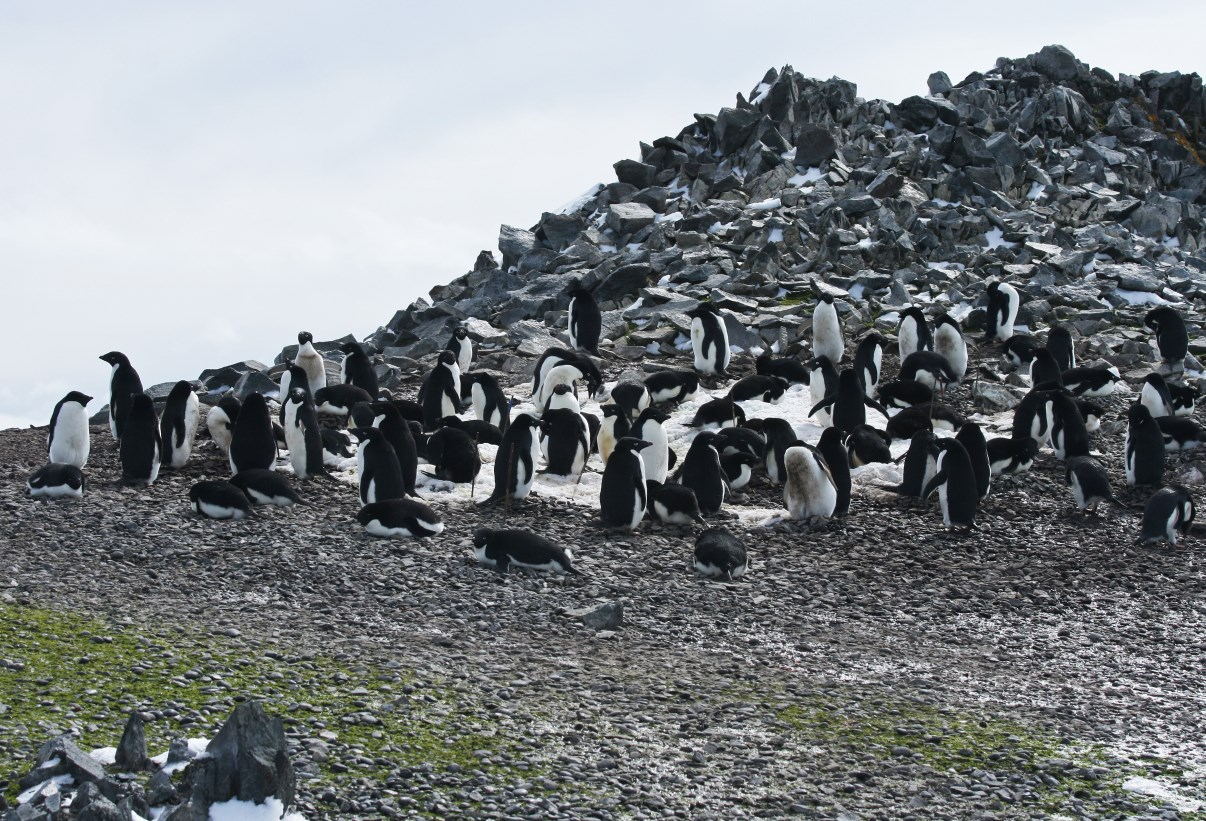 Breeding colony of Adelie Penguins.