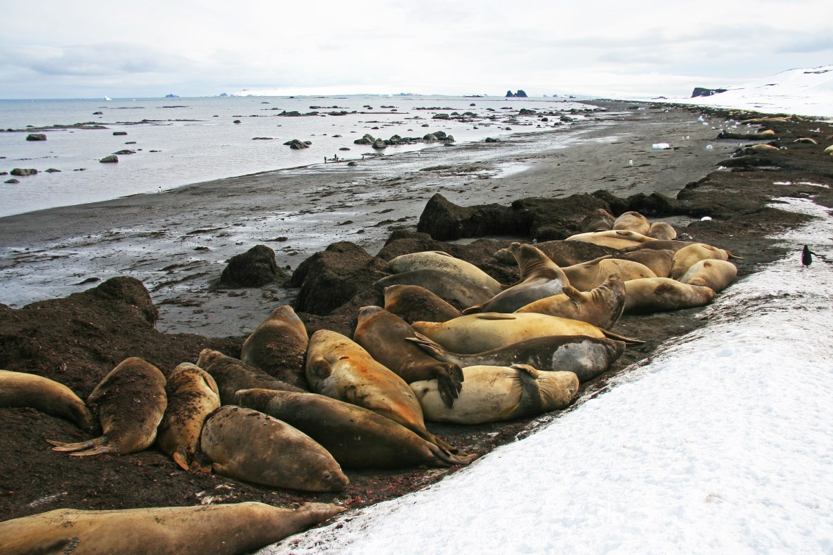 Group siesta. (elephant seals)
