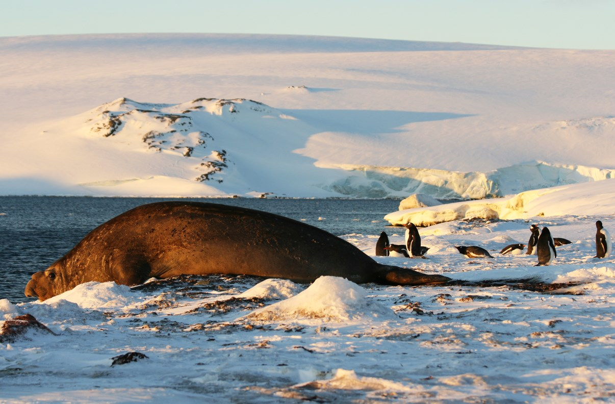 The bigger picture... (elephant seal and Gentoo penguins)