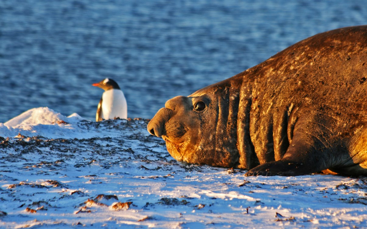 A male elephant seal in front of a Gentoo penguin.