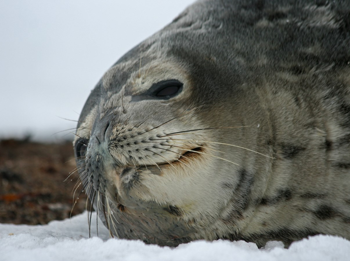 Head of a Weddell Seal.