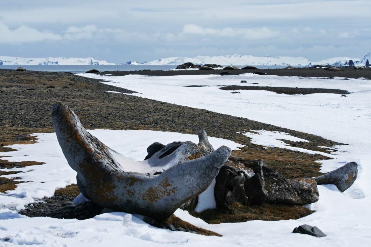 Whale vertebrae.