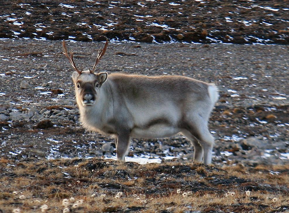 Interested reindeer.