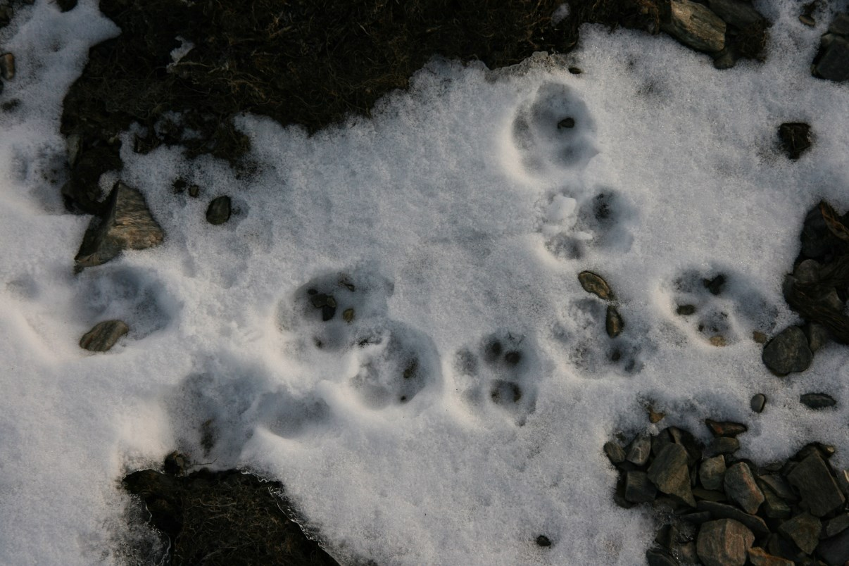 Polar fox's pawprints.