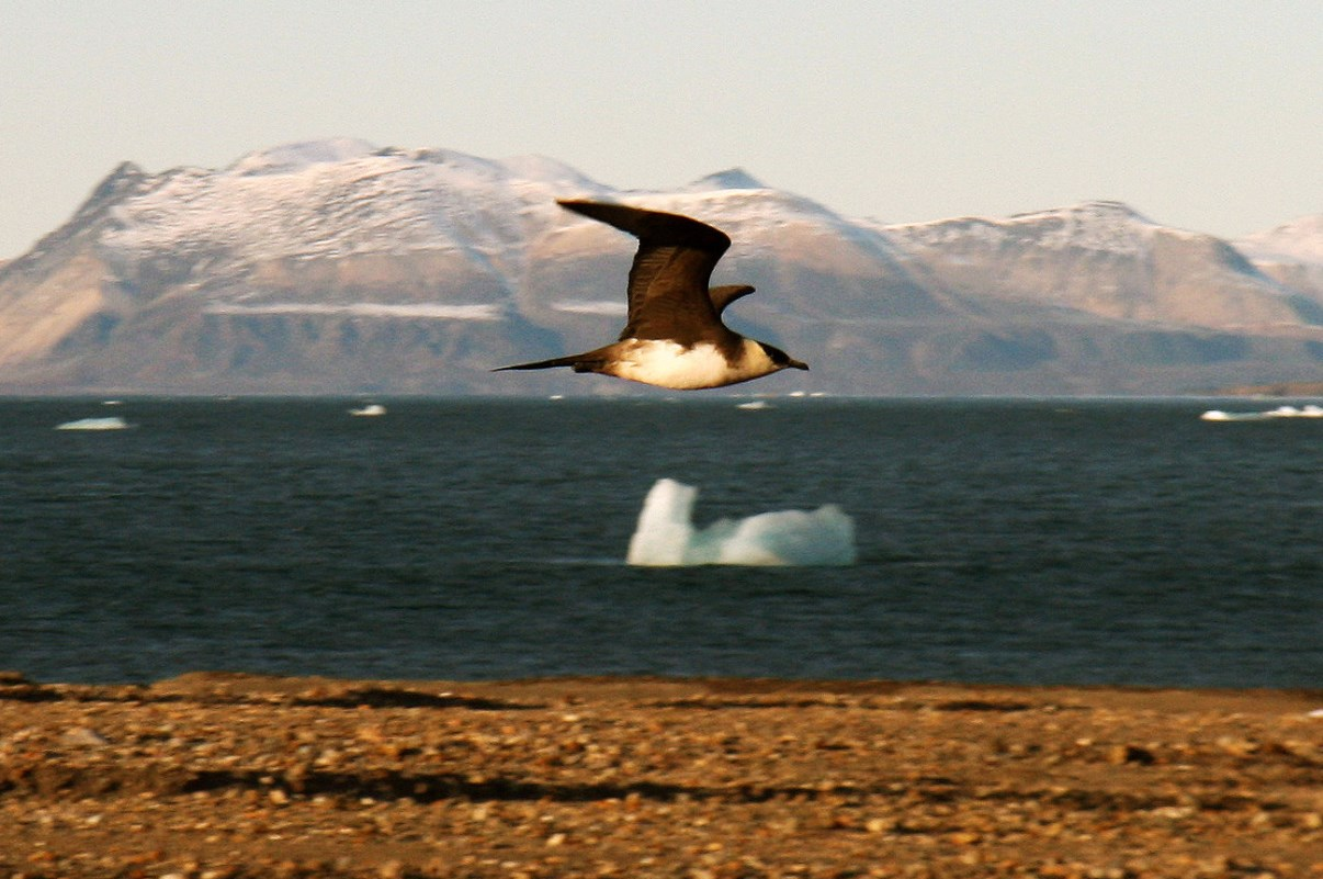 An Arctic Skua flying by.