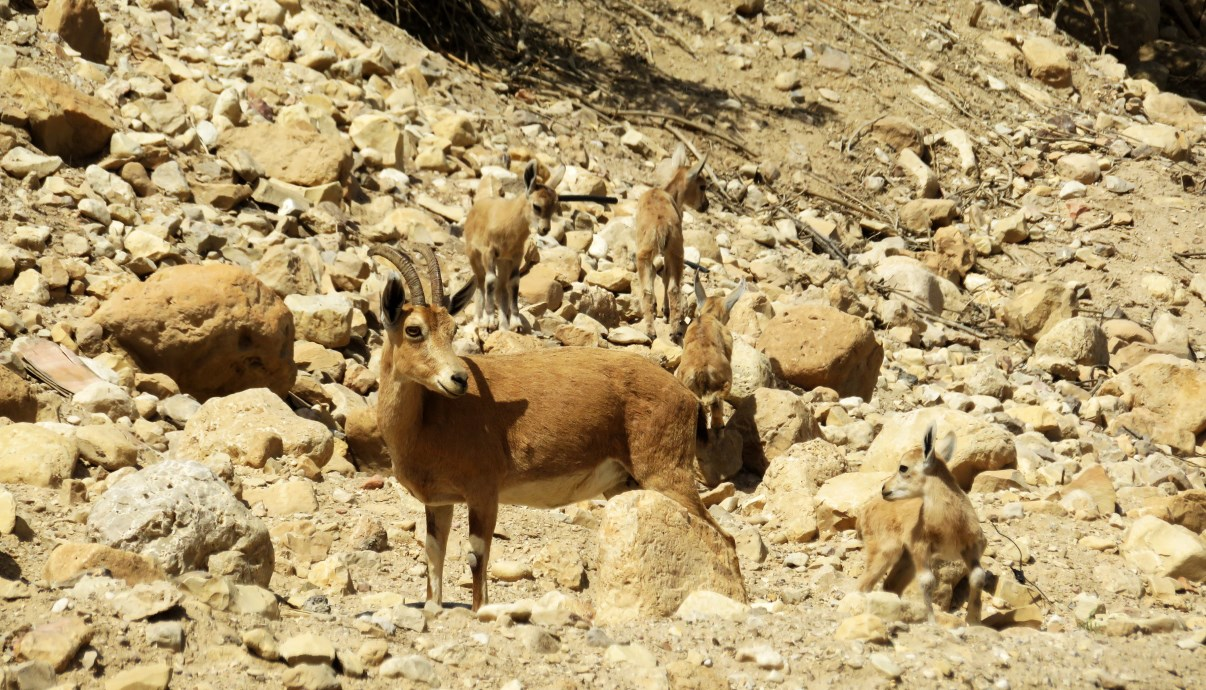 Nubian Ibex. A mother and her kids.