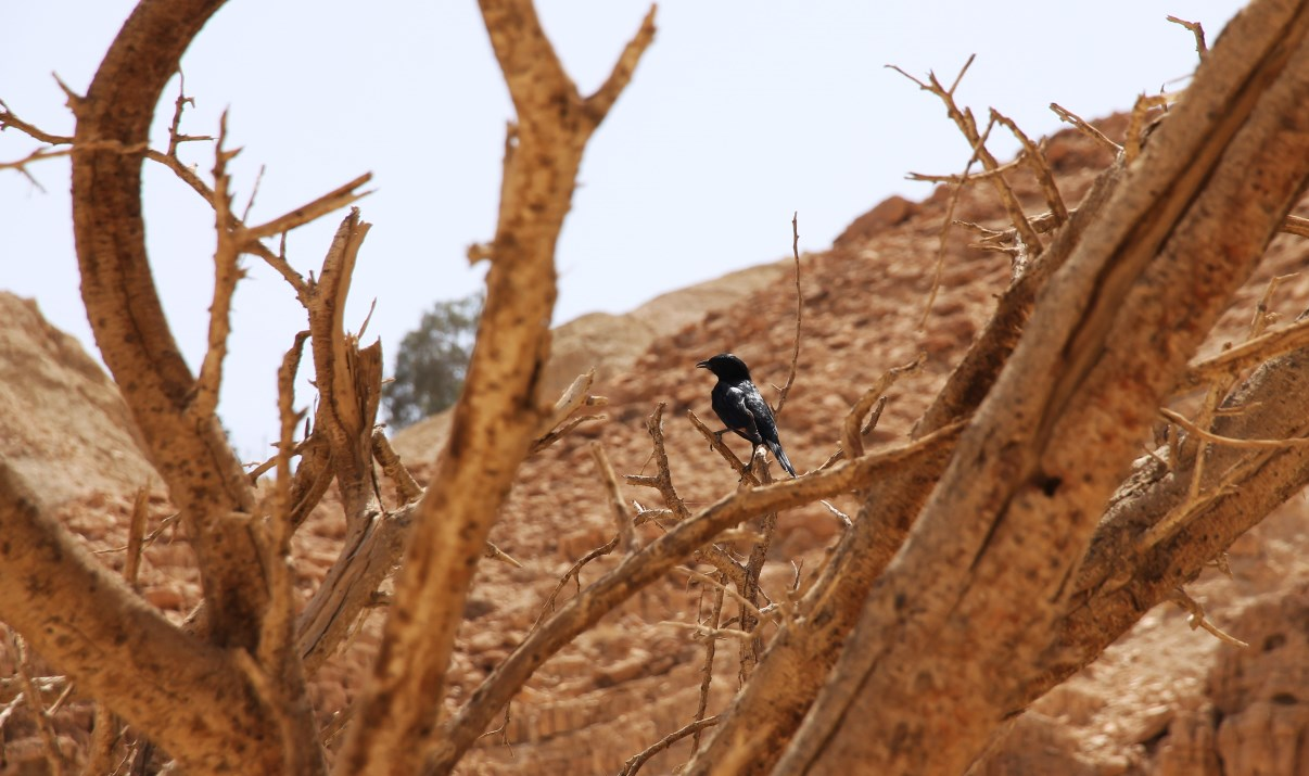 Tristram's Grackle on a dry shrub.