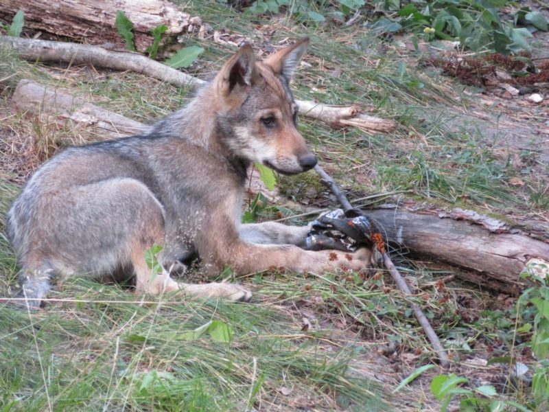 Young wolf in its enclosure.