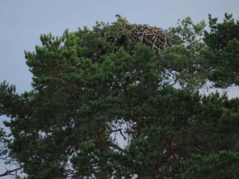 Osprey nesting.