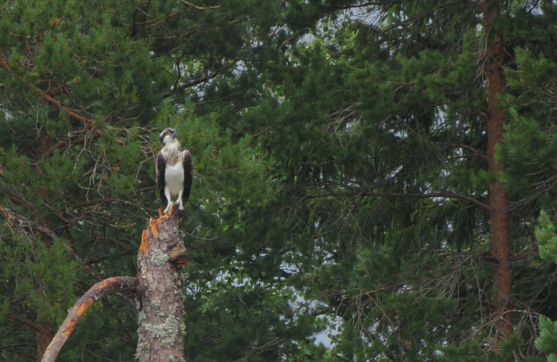 Osprey on the lookout.